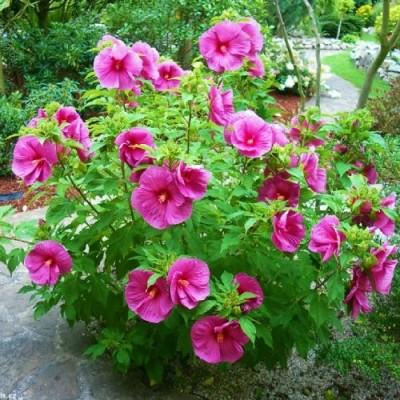 Гибискус садовый Fantasia фото