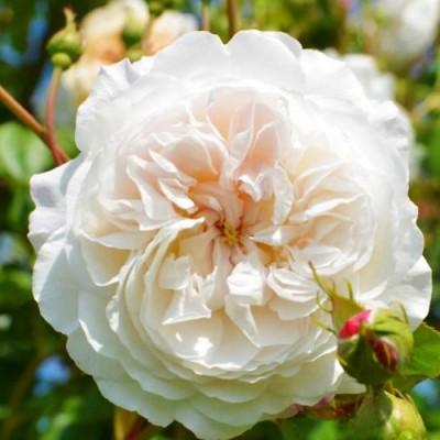 Роза The Albrighton Rambler (плетистая) фото