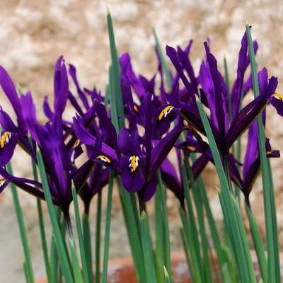 Ирис reticulata Purple Gem фото