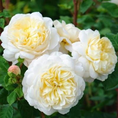 Роза Emanuel фото