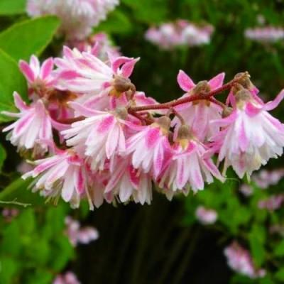 Дейция Codsall Pink фото