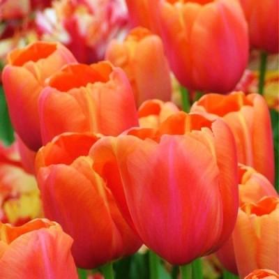 Тюльпан Avignon фото