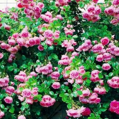 Роза Jasmina фото