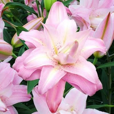 Лилия Lotus Queen фото