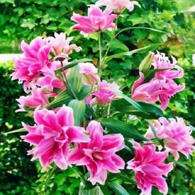 Лилия Roselily Isabella фото