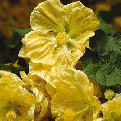 Абутилон Bella Yellow фото