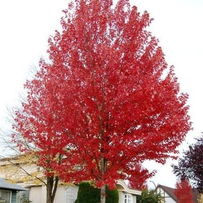 Клён Фримана Autumn Blaze фото