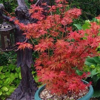 Клён японский Phoenix фото