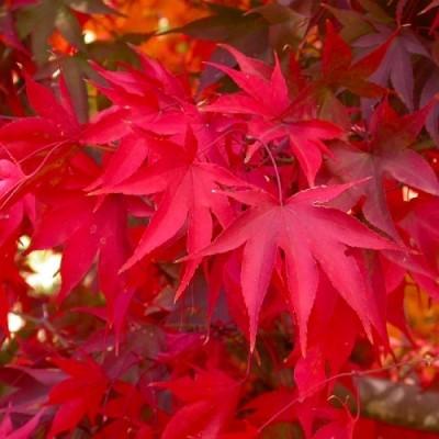 Клён японский Osakazuki фото