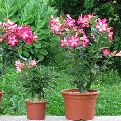 Пустынная Роза Anouk фото