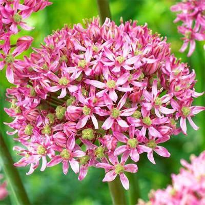 Аллиум Pink Jewel фото