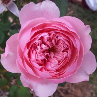 Роза The Alnwick фото