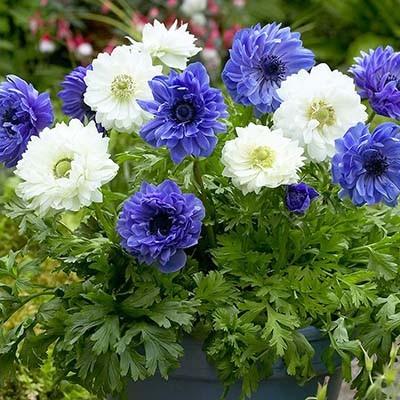 Анемоны Blue and White Микс фото