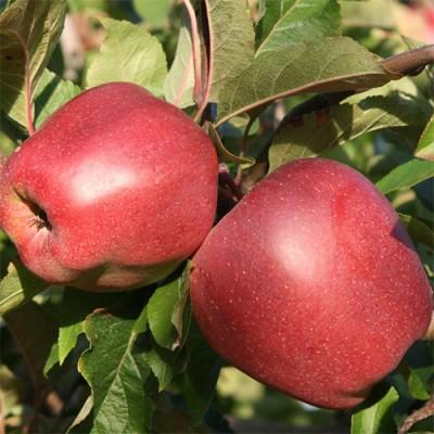 Карликовая яблоня Gloster фото