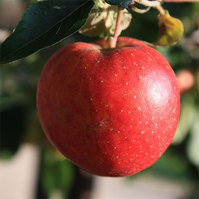 Карликовая яблоня Старкинг фото