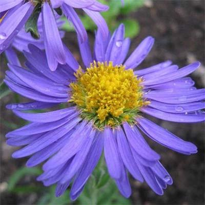 Астра Alpinus Violet фото