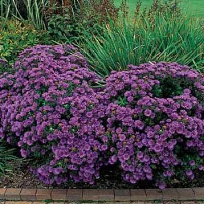 Астра Purple Dome фото