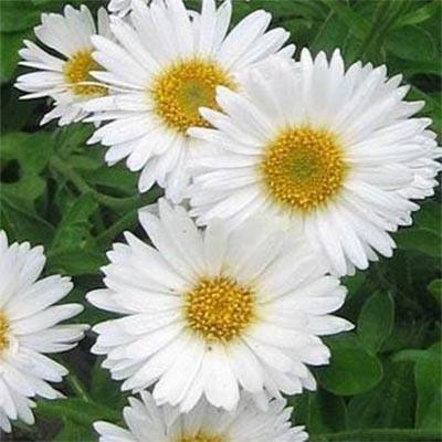 Астра Alpinus White фото