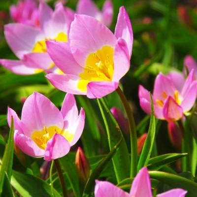 Тюльпан Bakeri Lilac Wonder фото