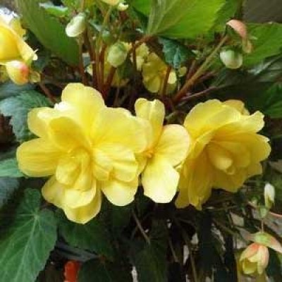 Бегония Multiflora Maxima жёлтая фото