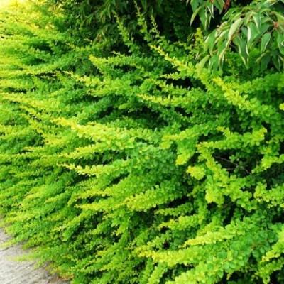 Барбарис Green Ornament фото