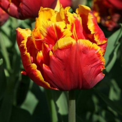 Тюльпан Bright Parrot  фото