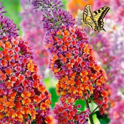 Буддлея Flower Power фото