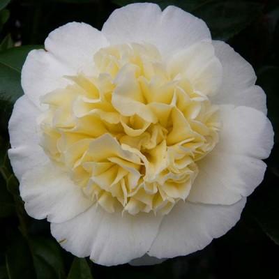 Камелия Brushfield's Yellow фото