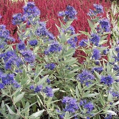 Кариоптерис Kew Blue фото
