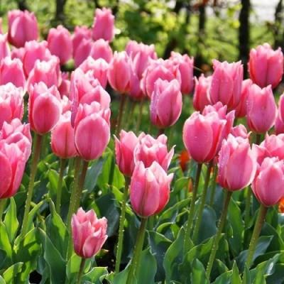 Тюльпан Albert Heijn фото