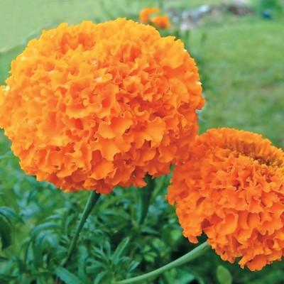 Бархатцы Купидон, оранжевые фото