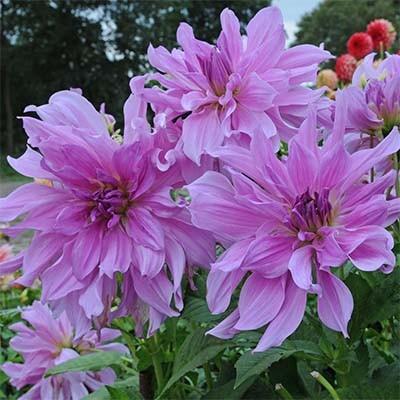 Георгина Lavender Ruffles фото