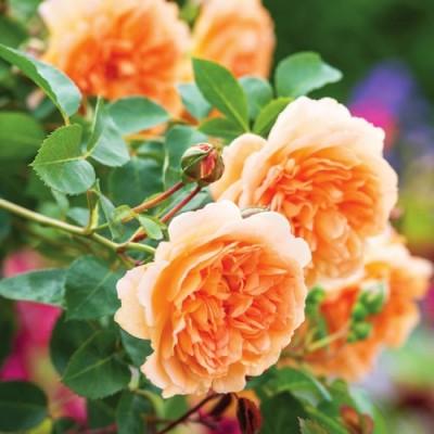 Роза Dame Judi Dench фото