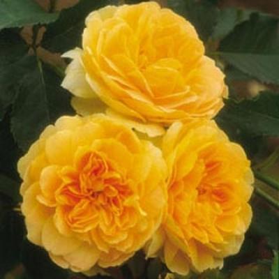 Роза Molineux фото