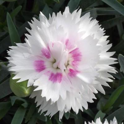 Гвоздика Diantica White + Eye фото
