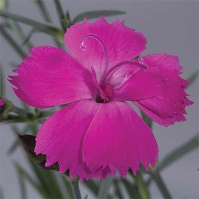 Гвоздика Dinetta Purple фото