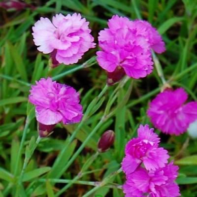 Гвоздика Pink Jewell фото