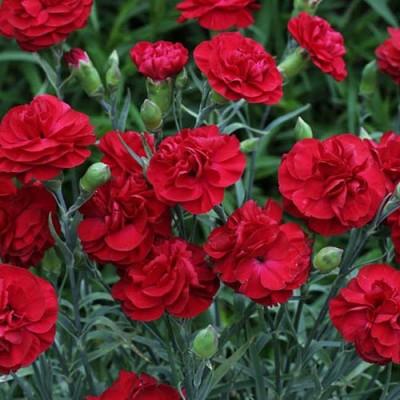 Гвоздика Balcon Красная фото