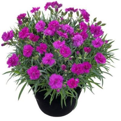 Гвоздика Balcon Фиолетовая фото