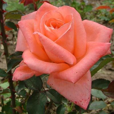 Роза Dolce Vita фото