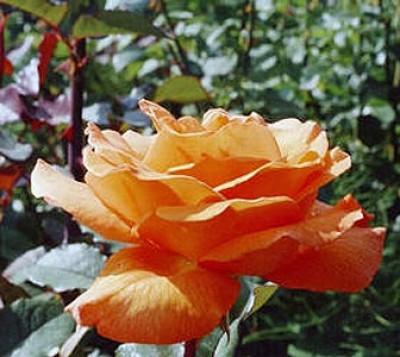Роза Doris Tijsterman фото