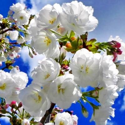 Сакура белая фото