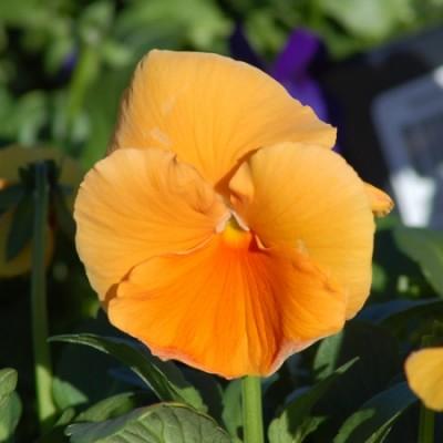 Фиалка большая оранжевая фото