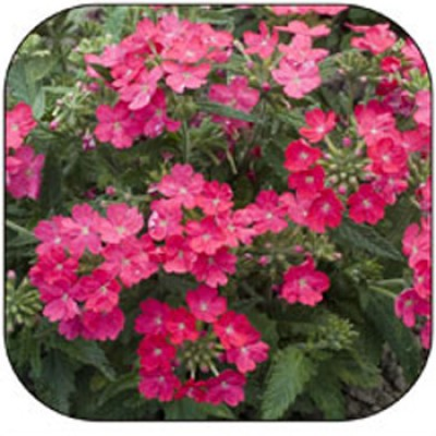 Вербена Розовая фото