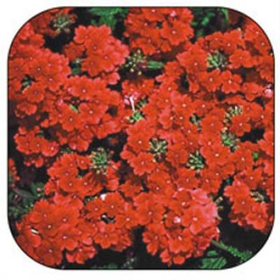 Вербена Красная фото