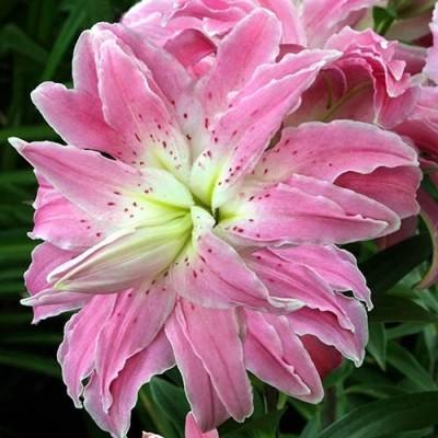Лилия Lotus Elegance фото