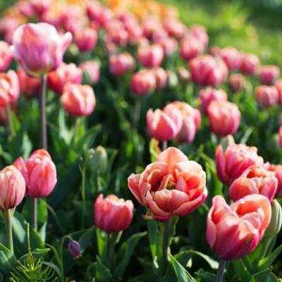 Тюльпан La Belle Epoque фото