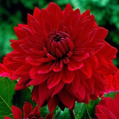 Георгина Garden Wonder фото