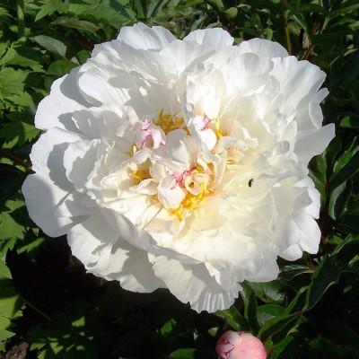 Пион Gardenia фото
