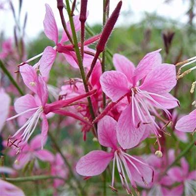 Гаура Siskyou Pink фото